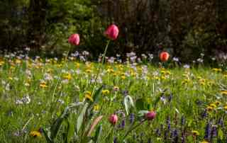 Wiese mit Tulpen