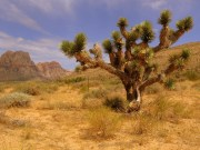 Take a Look at Arizona's Joshua Tree