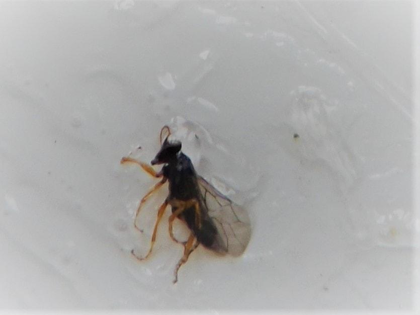 Crna šljivina osa