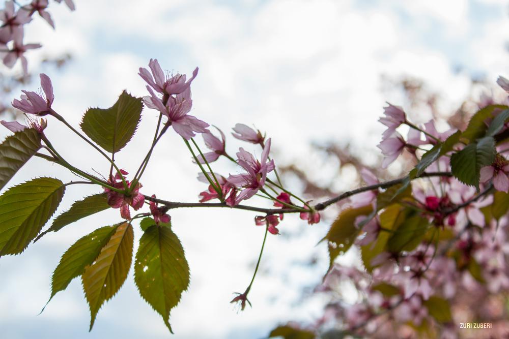 Zuri_Zuberi_Cherry_Blossom_3
