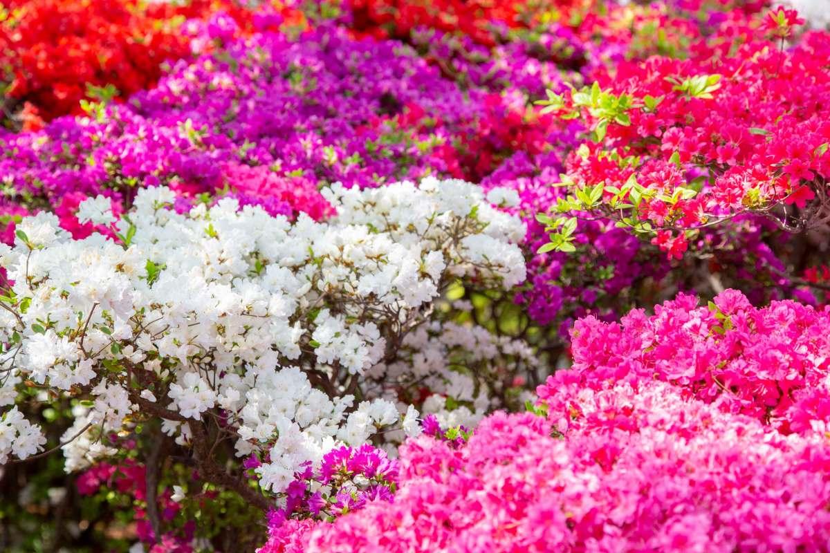 葉山のつつじの名所「花の木公園」、2018年の見頃はもう始まってますよー!