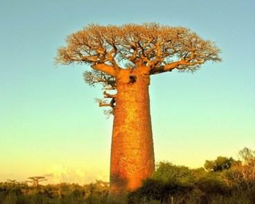 Zuhaitzean ordoki (baobab)