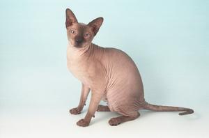Plešatý holé mačička