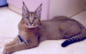 Кошки, похожие на рысь: описание пород домашних котов ...