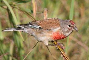 Щегол линяет. Птица породы щеголь: подробное описание и особенности щегла
