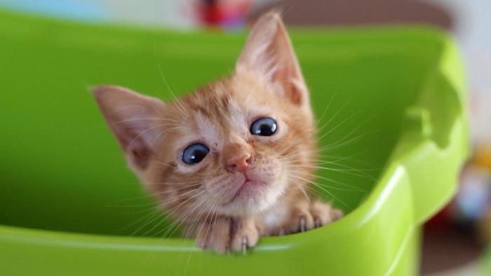 Смекту давать кошке до еды или после. Можно ли кошке давать смекту
