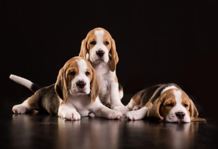 hogyan lehet a beagle fogyni