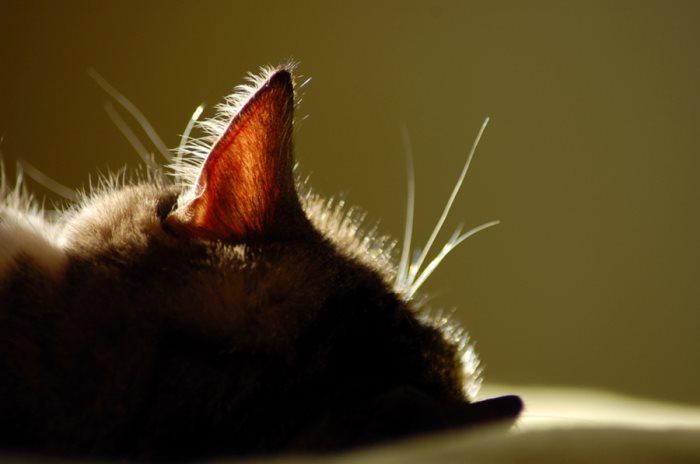 Почему у кошки в ушах коричневая грязь