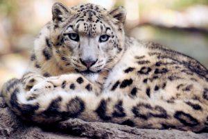 Дикие кошки виды животных характеристика и образ жизни