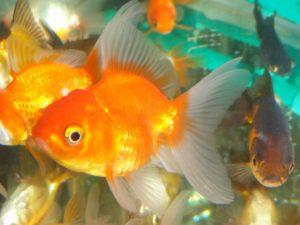 Вуалехвост: фото рыбки, содержание и уход
