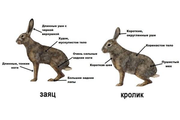 Чем заяц отличается от кролика: как отличить самостоятельно?