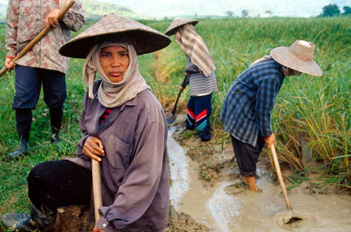 Thailand Rice Farmers