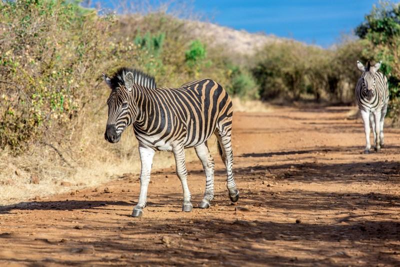 Pilanesberg Zebra