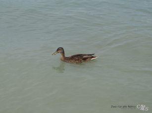 eine junge Ente die sehr nahe an und heran kam