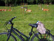 Kühe und Rad