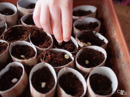 Erbsen pflanzen