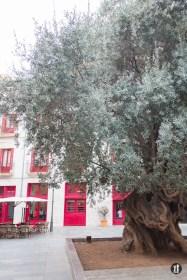 Palma de Mallorca - Olivenbaum