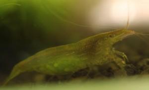 Grüne Garnele