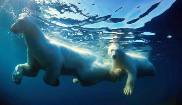 swimbear