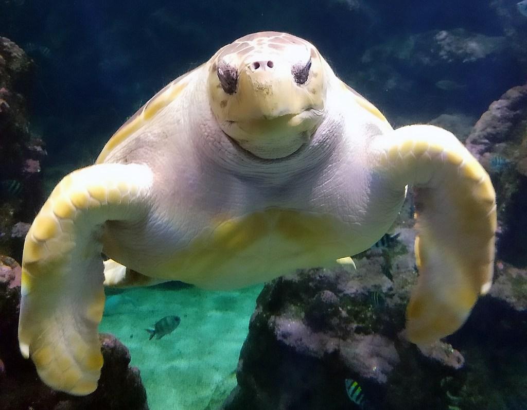 unechte Karettschildkröte im Oceanopolis