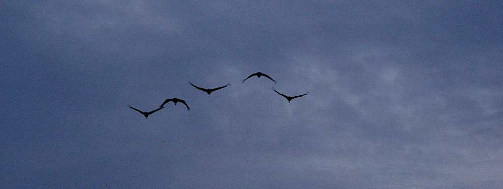 Fünf Krnaiche - imposante Vögel
