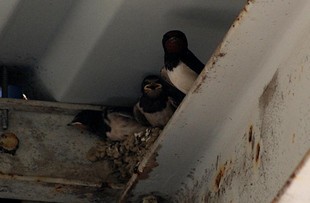 Schwalbennachwuchs unter dem Dach der Tankstelle