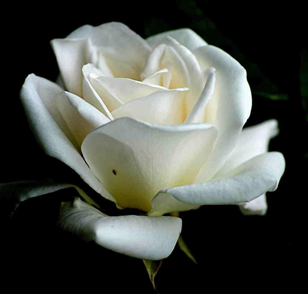 Rosa in weiß