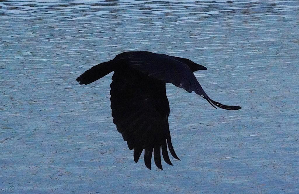 Krähe über dem Wasser. Kalt