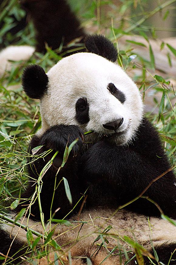 panda_z_Instytutu_w_Chengdu[1]