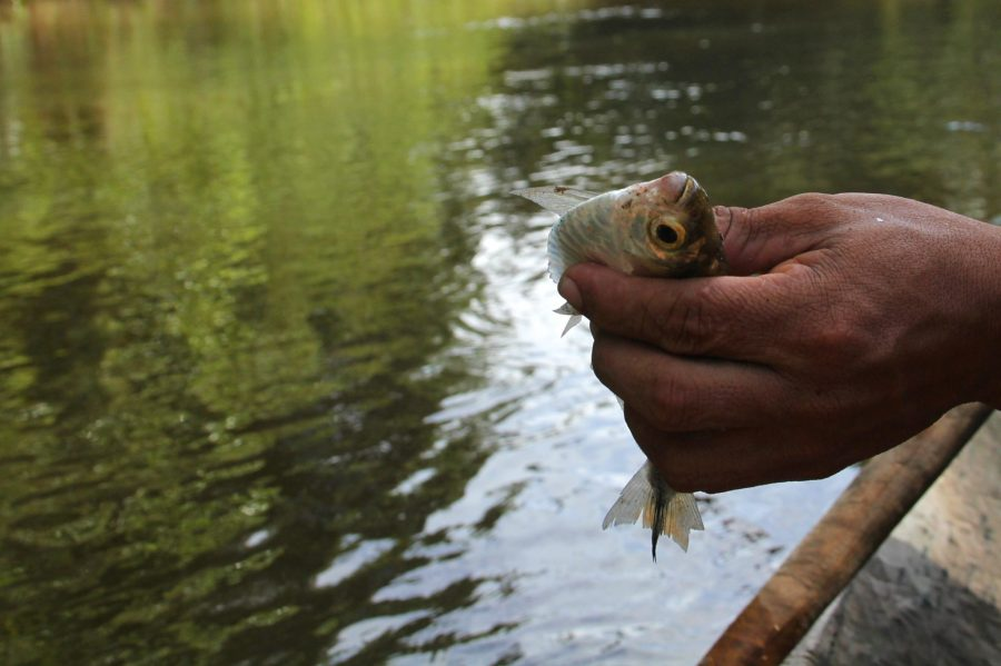 Piranha-Fang im Regenwald.
