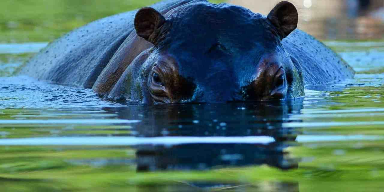 Kwekwe Man Dies in Hippo Attack… Colleague Survives with Injuries, Hospitalised