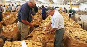 Tobacco selling season kicks off today