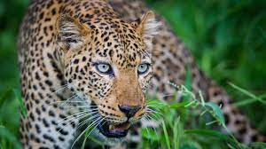 …PICTURE…Marauding leopard captured