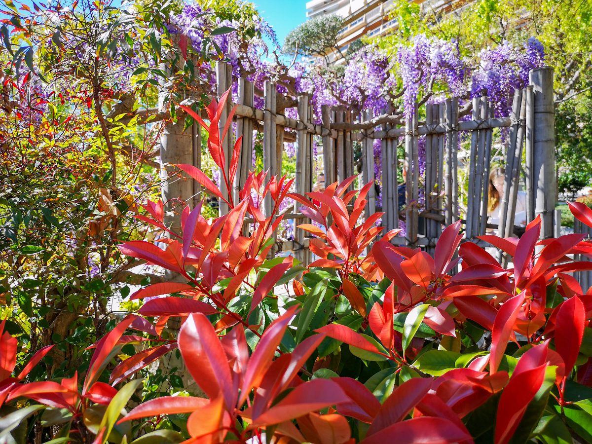 Monako co zwiedzić i zobaczyć w Monako monaco ogród japoński kwiaty