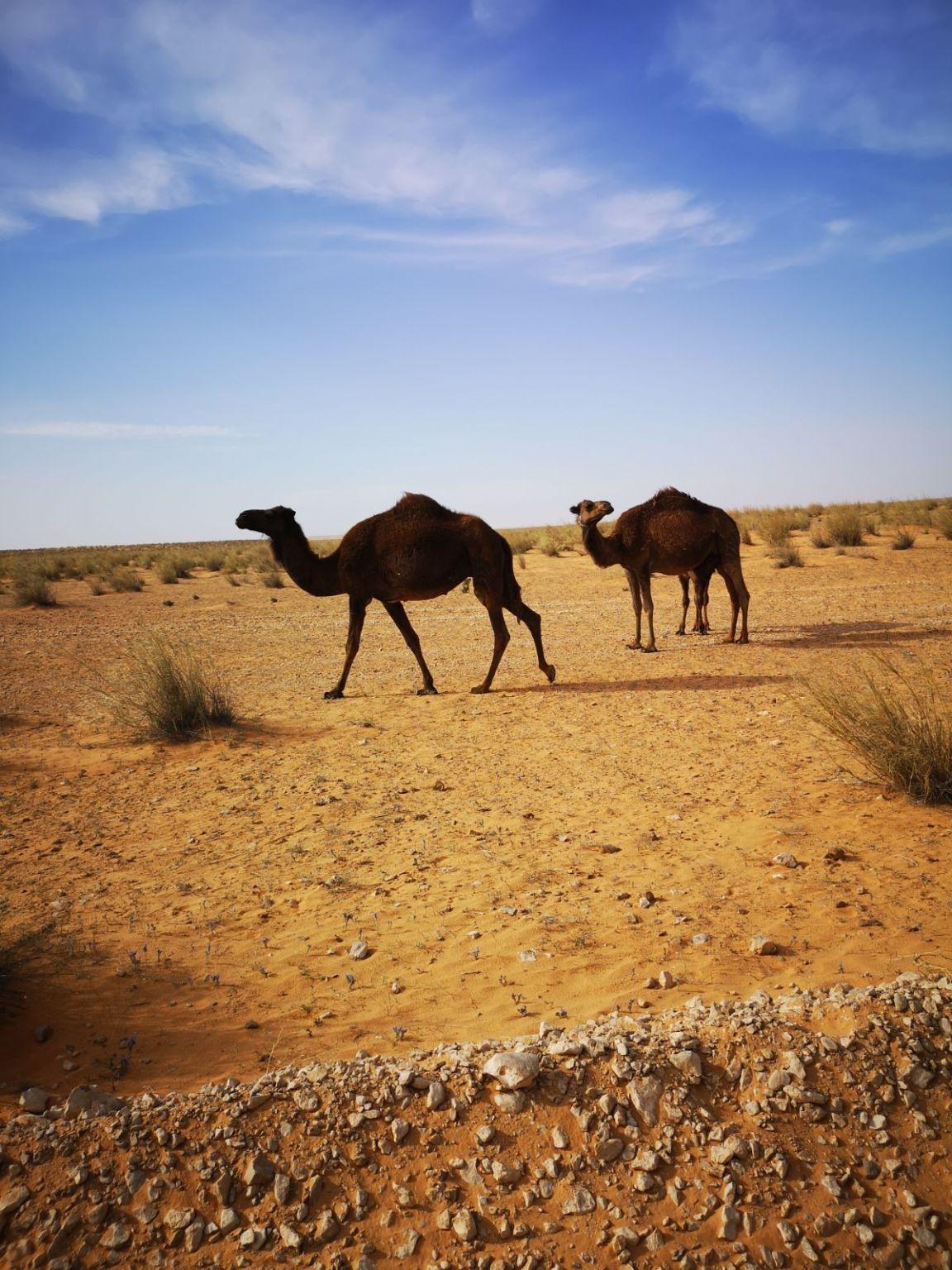 wielbłądy camele tunezja pustynia