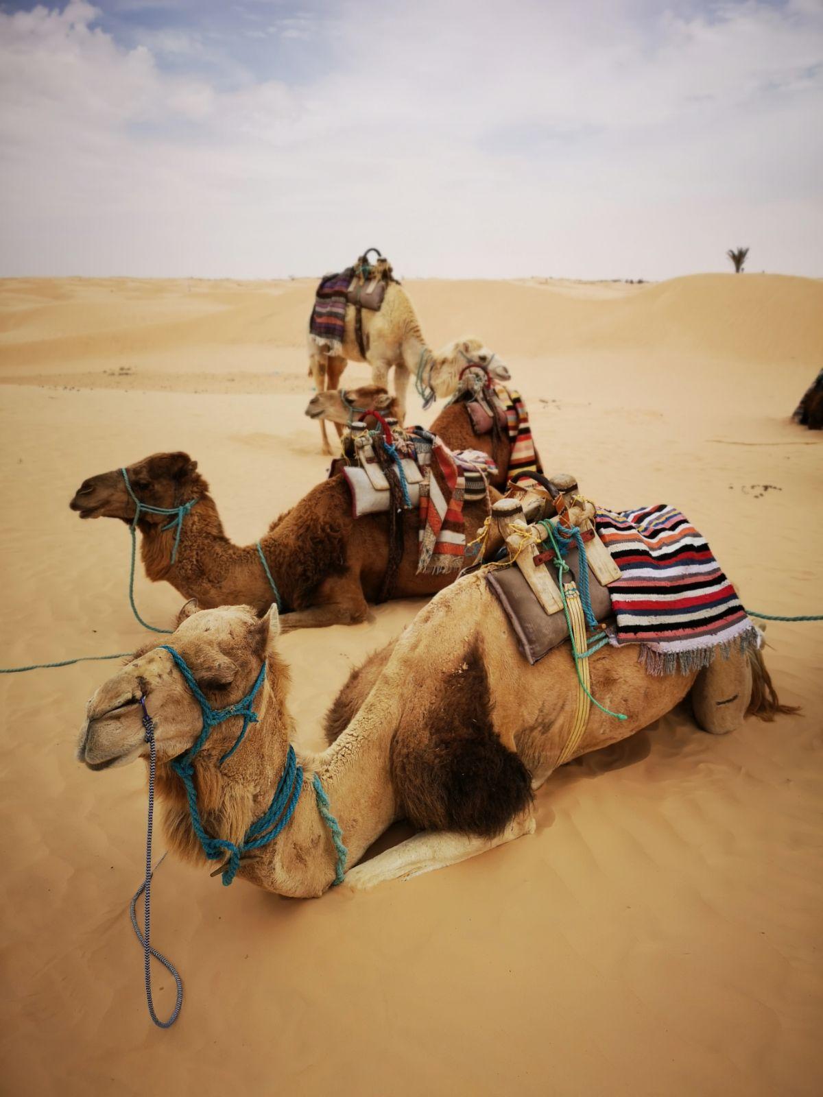 wielbłądy tunezja pustynia