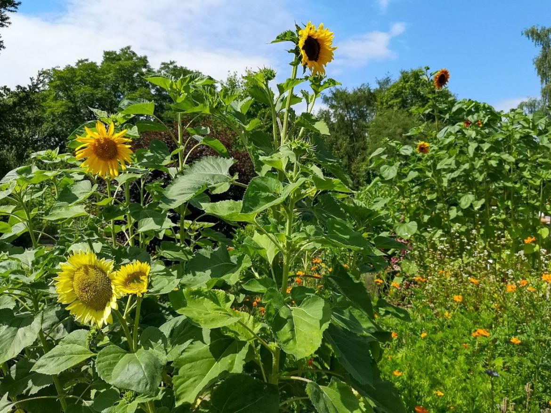 słoneczniki w ogrodzie botanicznym w lublinie lato w mieście co zwiedzic w lublinie